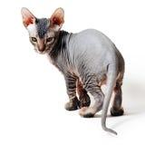 Oriental kitten Stock Photo