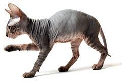 Oriental kitten Stock Image