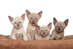 Oriental kittens on brown blanket Stock Photography