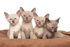 Oriental kittens on brown blanket Royalty Free Stock Photo