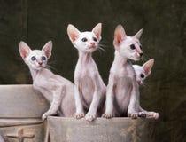 Oriental kittens Stock Photography
