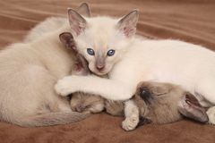 Oriental kittens playing Royalty Free Stock Photos
