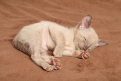 Oriental kittens sleep on blanket Stock Photo