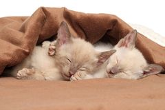 Oriental kittens sleeping under blanket Royalty Free Stock Image