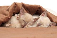 Oriental kittens sleeping under blanket. Oriental kittens sleeping under brown blanket Royalty Free Stock Image