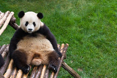Oriental lazybones. Panda bear resting on bamboo bench with green grass in background Royalty Free Stock Photography