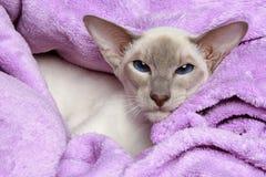 Oriental Lilac-point siamese cat Stock Photo