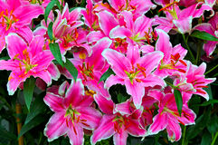 Oriental lilies Stock Images