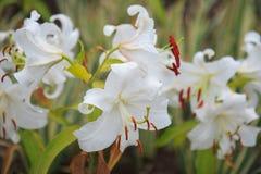 Oriental lilies Stock Photo