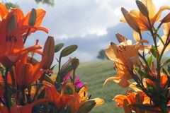 Oriental Lillies against countryside background Royalty Free Stock Photo