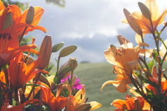 Oriental Lillies against countryside background Stock Photos