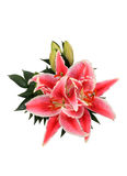 Oriental Lilly Blossoms Isolated on White Royalty Free Stock Image
