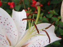 Oriental Lily. Stamens and stigma of an oriental lily Stock Photography