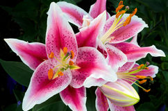 Oriental Lily Closeup in Full Bloom Royalty Free Stock Photo