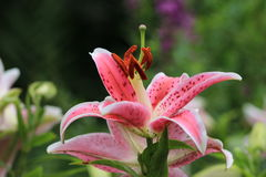 Oriental Lily flowers Stock Image