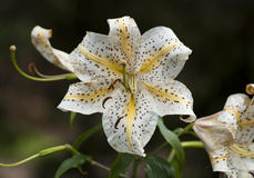 Oriental Lily Stock Images