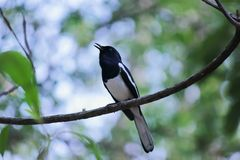 Oriental magpie and bokeh stock photography