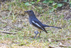 Oriental magpie robbin Stock Images