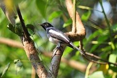Oriental Magpie Robin. A Oriental Magpie Robin on the tree Stock Photos