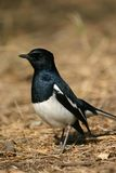 Oriental magpie robin Royalty Free Stock Photography
