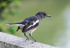 Oriental Magpie-Robin. Stock Image