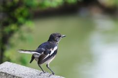Oriental Magpie-Robin. Stock Photos