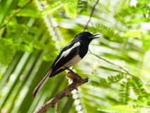 Oriental Magpie Robin Royalty Free Stock Photo
