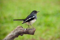 Oriental Magpie Robin Royalty Free Stock Photos