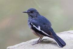 Oriental Magpie Robin. Standing on stone Stock Photo