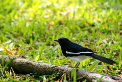 Oriental Magpie Robin Bird Stock Images