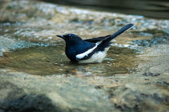 The Oriental Magpie Robin. Stock Image