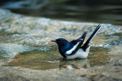 The Oriental Magpie Robin. Stock Photos