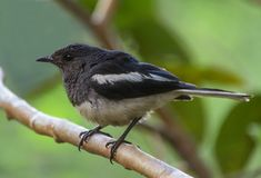 Oriental Magpie Robin Bird royalty free stock images