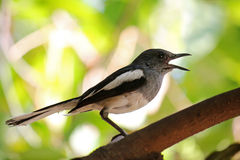 Oriental Magpie Robin bird (Copsychus saularis) with black and w Royalty Free Stock Image