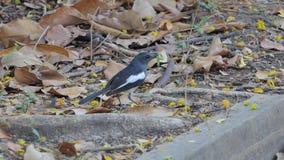 Bird catching worm. Oriental Magpie Robin bird Copsychus saularis catching worm for feed stock video footage