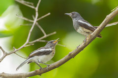 Oriental Magpie Robin bird cub royalty free stock images