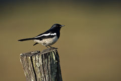 Oriental magpie robin bird in Nepal Royalty Free Stock Image