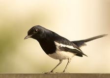 Oriental Magpie Robin bird. Sitting on a fence and looking Royalty Free Stock Image