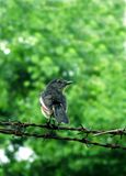Oriental magpie robin bird Stock Photo