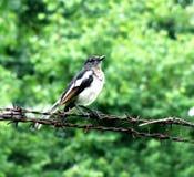 Oriental magpie robin bird Stock Image