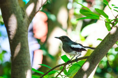 Oriental magpie robin  bird Royalty Free Stock Photos