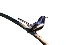 Oriental Magpie Robin bird Royalty Free Stock Photo