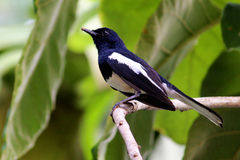 Oriental magpie - robin. A black little bird commonly found in Kerala, India Stock Images