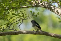 Oriental magpie robin with blurred green background. A little bird is perching on a branch Royalty Free Stock Photography