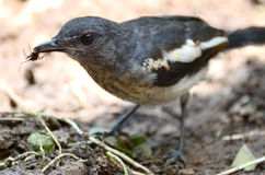 Oriental magpie robin catch prey Stock Images
