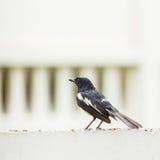 Oriental Magpie Robin Stock Image