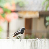 Oriental Magpie Robin Stock Photography