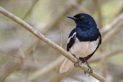 Oriental Magpie-robin - Copsychus saularis royalty free stock photography
