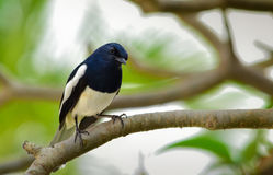 Oriental Magpie-robin Copsychus saularis perching on a tree branch. Nakhon Ratchasima, Thailand. Royalty Free Stock Images