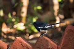 Oriental magpie-robin, Copsychus saularis, Ranthambore national park, Rajasthan, India. Oriental magpie-robin, Copsychus saularis, Ranthambore national park stock photography